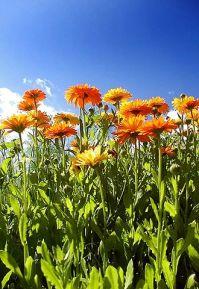 330px-Calendula_officinalis_and_sky
