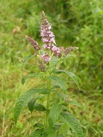 330px-Mentha_longifolia_2005.08.02_09.53.56