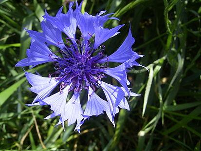 413px-CentaureaCyanus-bloem-kl