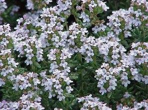 413px-Thymus_vulgaris0