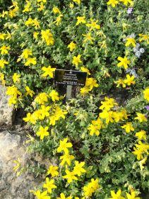 Hypericum_cerastoides_-_Botanischer_Garten_Freiburg_-_DSC06443